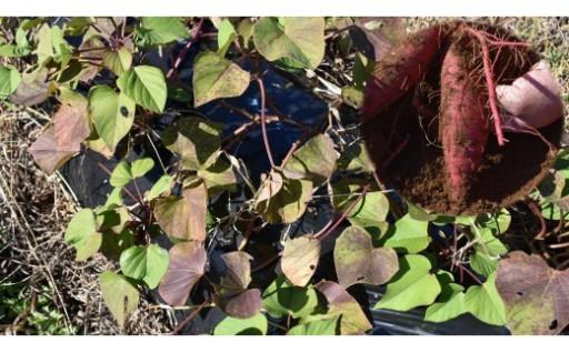 鹿嶋でさつまいも苗植え体験ができます