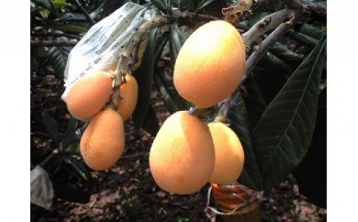 納所のびわと言えば多久産フルーツの代表格です!