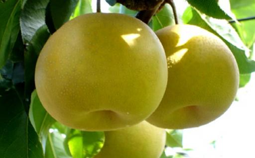 肥沃な土地で栽培された「幸水」「豊水」梨をどうぞ