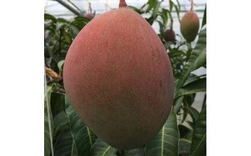 幻のマンゴー『紅キーツ』(大玉)