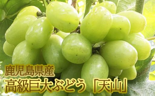 鹿児島産★高級巨大ぶどう「天山」1kg
