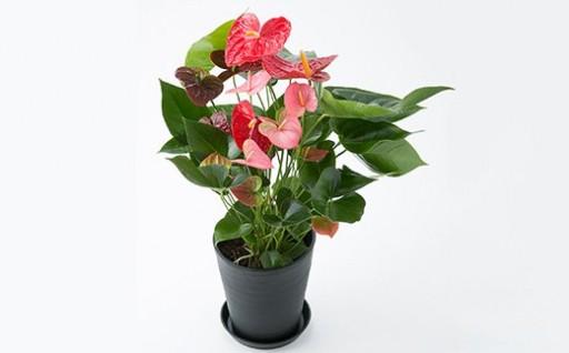 アンスリウム 多くの花と葉をつけたボリューム感