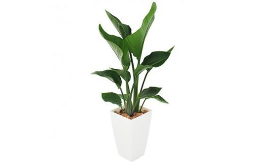お部屋に癒しを☆南国指宿の観葉植物『オーガスタ』