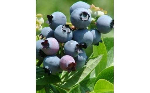 【農薬・化学肥料不使用】摘みたてブルーベリー
