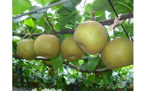 数量限定で受付中!多久産の梨はあと僅かで終了!