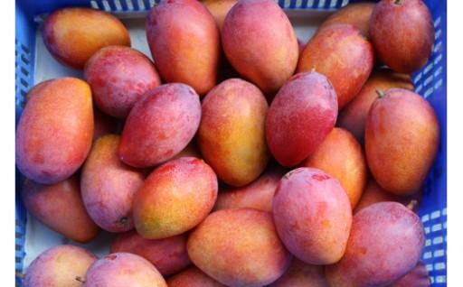【家庭用】ミナミマンゴーハウスの完熟マンゴー