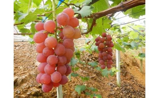 夏の果物 ブドウ