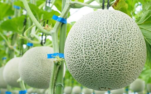 【高品質】白久農園マスクメロン2玉【リボン付き】