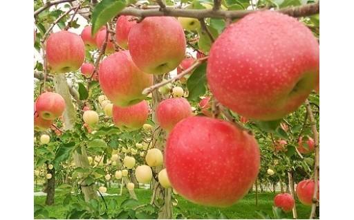 人気の「サンふじ」ほか各種りんご受付中です!
