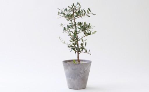 観葉植物「オリーブ」【お部屋のアクセントに♪】