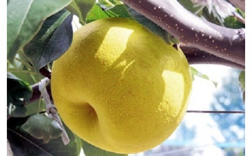 幻の梨「かほり梨」受付はじめました。