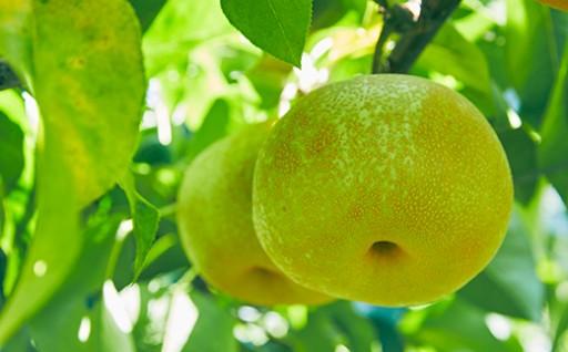 周南市須金のフルーツランドから旬の「梨」をお届け