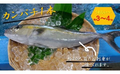 大島海峡で育った高級魚カンパチが新登場!