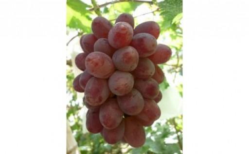"""ワイン色の赤い実が美しいぶどう""""紫苑"""""""