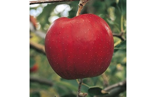 【10/11まで】りんご「サンジョナ」3㎏