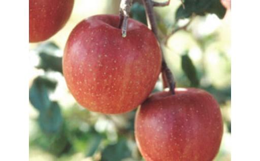 りんごの里・秋田県雄和地区で育ったりんご ふじ