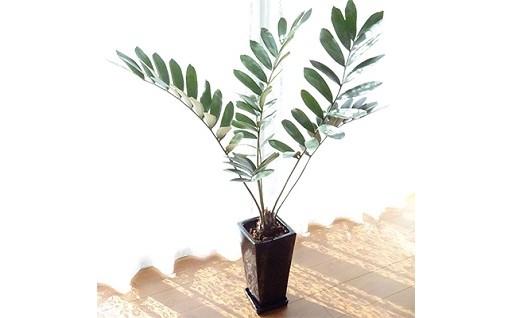南国感にあふれ、乾燥に強く、育てやすい観葉植物!
