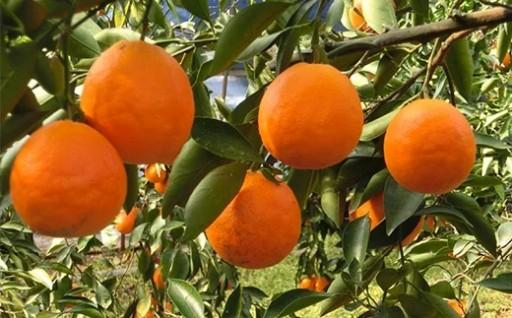 タロッコ(ブラッドオレンジ)予約受付中です!