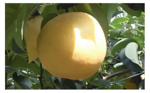 ♪芳醇な香りで果汁たっぷりの「新高梨」をどうぞ♪