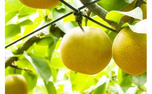 久留米産の梨(豊水)16~18玉