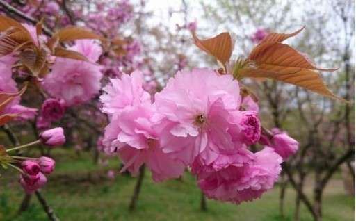 八重桜の花も葉も ~桜の香りがほんのり香る~