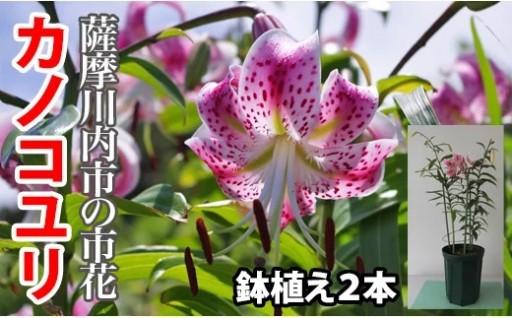 希少 甑島産 鉢植えカノコユリ【数量限定】