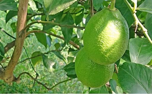 【12/10期限】グリーンレモン 2.5kg