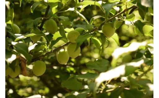 特別名勝「栗林公園」の梅を使った梅酒と梅ワイン