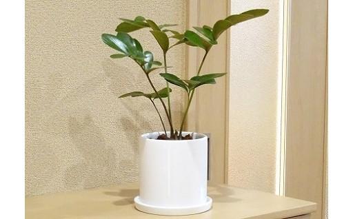 かわいい葉っぱの観葉植物!お部屋の片隅にどうぞ!