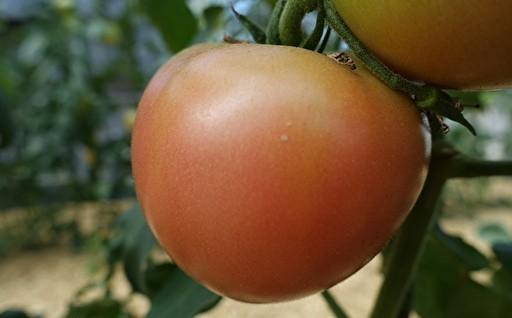 農家の店くりちゃんのトマト