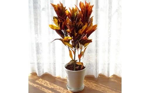 秋の紅葉を感じさせる5色の色彩が美しい観葉植物!