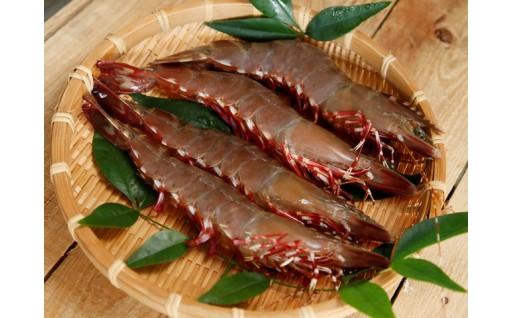 肉厚の身で味が濃い!希少な天然アシアカ海老