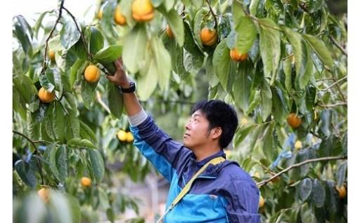 島根県出雲産西条柿の干し柿(12玉入り)