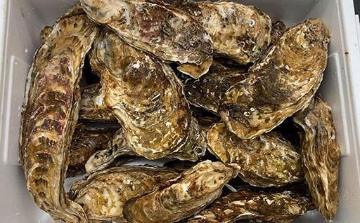 【訳あり規格外品】三陸広田湾の殻付き牡蠣
