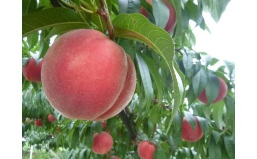 採れたての美味しい桃を直送いたします!!
