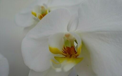 春の贈り物に~花のまち鴻巣の【胡蝶蘭】