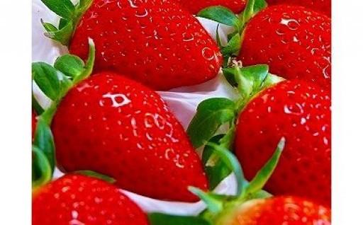 甘味と酸味のバランスがたまらない苺。やよいひめ