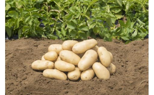 7月限定出荷のジャガイモ「三島馬鈴薯」受付開始