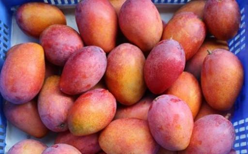 ミナミマンゴーハウスの完熟マンゴー約2kg