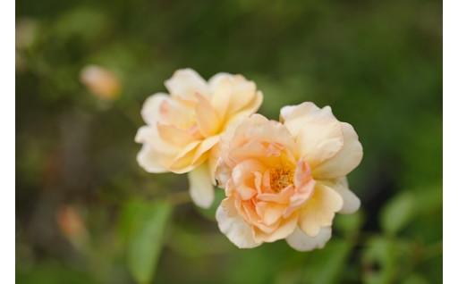 「バラの学校」より気持ち華やぐバラの返礼品