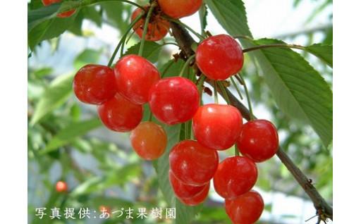 福島市のさくらんぼ農家の応援お願いします!