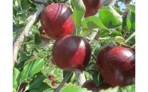 秋映(あきばえ)2020年収穫分 約5kg