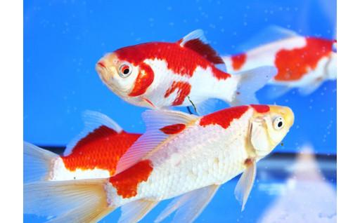泳ぐ姿が優雅で美しい「庄内金魚」
