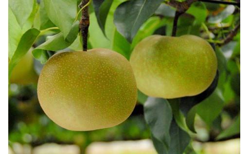 梨の食べ比べ「定期便」大人気です!