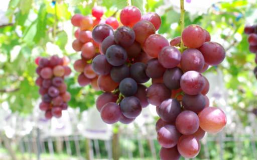【宝石のような甘美な一粒】クラシックブドウ