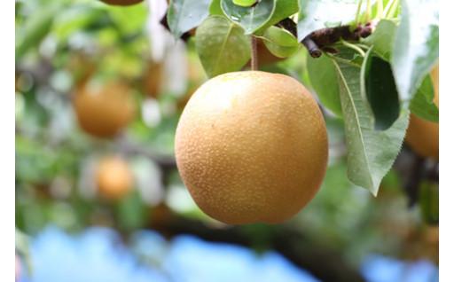 梨の季節がやって来ます!合六果樹園の梨
