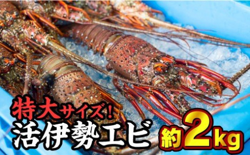 特大!活伊勢エビ 1.8〜2kgセット