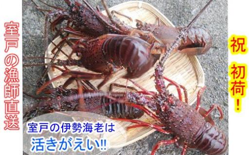 漁師さん直送!室戸の天然伊勢海老(約500g)