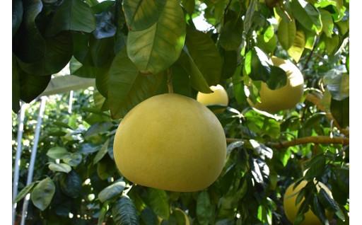 数量限定☆氷川町特産「晩白柚」の予約受付中!