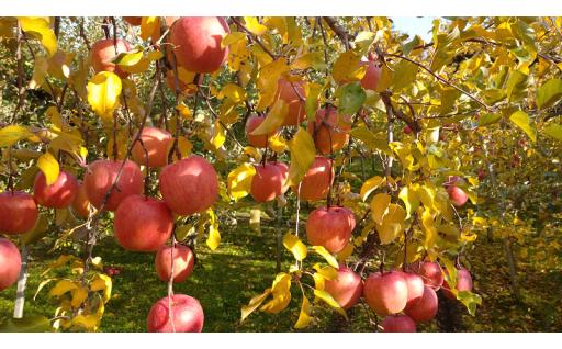 【山形県朝日町】これからが旬のりんご<無袋ふじ>